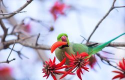 Green parrot eats flower. Green rose ringed parakeet eats flower on the tree Royalty Free Stock Photos