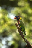 Green Parrot. Endangered green parrot stands on a branch Royalty Free Stock Photo