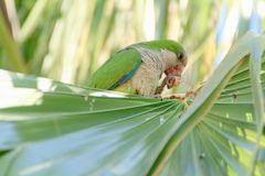 Green parrot in Fuerteventura, Canary Islands royalty free stock photo