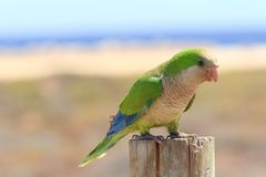 Green parrot in Fuerteventura, Canary Islands royalty free stock photography