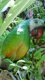 Green parrot in the garden Royalty Free Stock Photo
