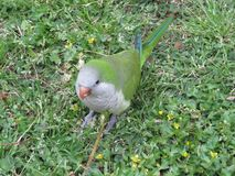 Green parrot in the grass.Wild parrots of Barcelona. Traveling and fun stock images