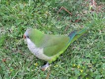 Green parrot in the grass.Wild parrots of Barcelona. Traveling and fun royalty free stock image