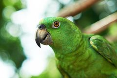 Green parrot head close-up. On blurred natural background Royalty Free Stock Images