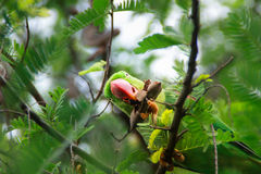 Green parrot hide on Green tamarind tree. Green parrot feed tamarind on the tree in Thailand Stock Image