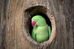Green Parrot. Royalty Free Stock Images