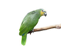 Green parrot, isolated Stock Photo