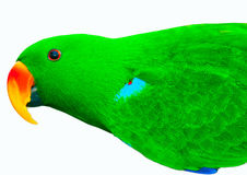 Green Parrot isolated Stock Image
