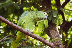 Green parrot with light eyes on lime tree royalty free stock photography
