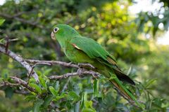 Green parrot with light eyes on lime tree stock photos