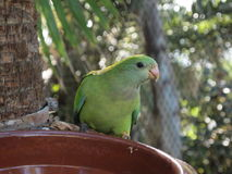 Green parrot. In Loro Park on Tenerife Royalty Free Stock Image