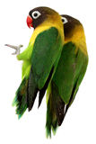 Green parrot lovebird Royalty Free Stock Photo