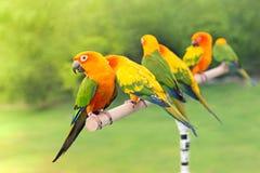 Green parrot lovebird Stock Images