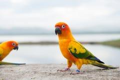 Green parrot lovebird Stock Image