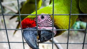 Green Parrot / Macaw in Macaw Mountain Bird Park Royalty Free Stock Photos