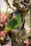 Green parrot, Mexico. Green parrot with blue color at the top of the head sit on tree branch, Mexico Royalty Free Stock Images