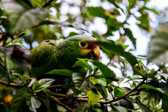 Green parrot Royalty Free Stock Photo