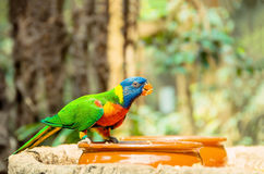 Green parrot near the feeders, eating fruit. Royalty Free Stock Images