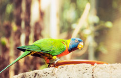 Green parrot near the feeders, eating fruit. Stock Images