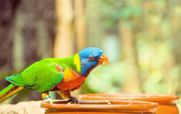 Green parrot near the feeders, eating fruit. Royalty Free Stock Photos