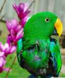 Green parrot next to to pink flowers Stock Photos