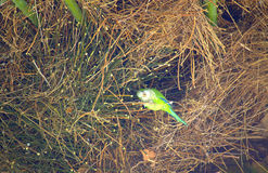 Green parrot in palm nest Royalty Free Stock Images