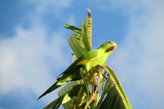 Green parrot on palm royalty free stock image