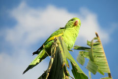 Green parrot on a palm tree Stock Image