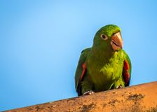 A parrot on the roof Royalty Free Stock Photo