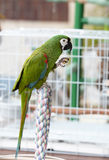 Green Parrot perched on a Cage Royalty Free Stock Photo
