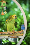 Green parrot. Perched on a swing stock photography
