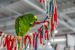 Green parrot playing stock images
