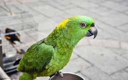 The green parrot portrait. Close up Stock Image