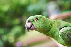 Green parrot portrait. Green colorful parrot portrait close-up on blurred background Stock Photos