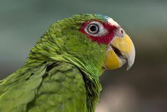 Green Parrot Stock Image