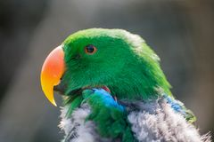 Green parrot portrait. Green parrot profile portrait, Italy Royalty Free Stock Images