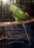 Green parrot Psittacula krameri at sun rays looking back. Green parrot Psittacula krameri at the sun rays looking back Royalty Free Stock Photo