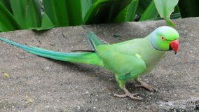 Green Parrot. A green parrot with a red beak stock photo