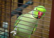 The green parrot. royalty free stock photo
