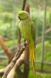 Green parrot with red beak Stock Photos