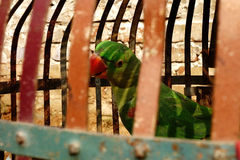Green Parrot in Red Cage Stock Photography