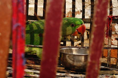 Green Parrot in Red Cage Stock Image