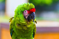 Green Parrot. Red Crowned Parrot in rain Royalty Free Stock Photos