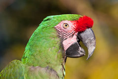 Green Parrot with red feathers on beak talking Royalty Free Stock Image