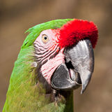 Green Parrot with red feathers on beak talking Royalty Free Stock Photo