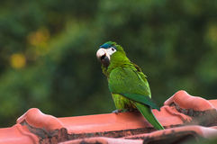 Green parrot on the roof of a house with a blurred background of green nature. Parrot also known as Maritaca bird in Brazi Royalty Free Stock Image