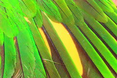 Green parrot's feather Royalty Free Stock Photo