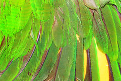 Green parrot's feather Stock Images