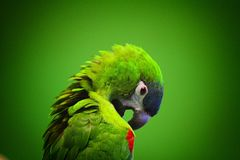 Green parrot scratch oneself Royalty Free Stock Photography