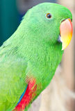 Green Parrot. Royalty Free Stock Photos